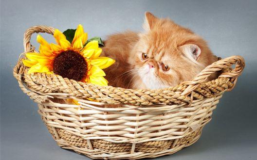 Обои Рыжий кот с подсолнухом лежит в плетенной корзине