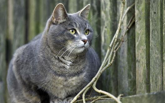 Обои Серый кот около забора