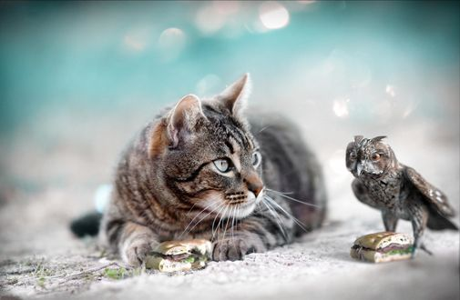 Обои Кот смотрит на сову