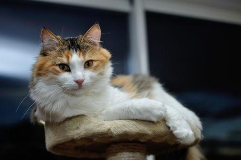 Обои Бело-рыжий кот на стуле