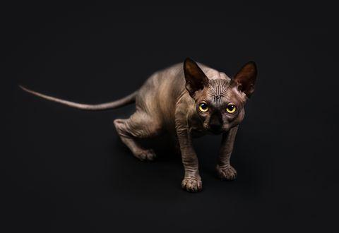 Обои Кошка породы сфинкс с желтыми глазами