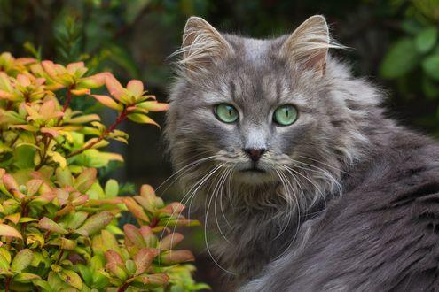 Обои Пушистый кот с зелеными глазами