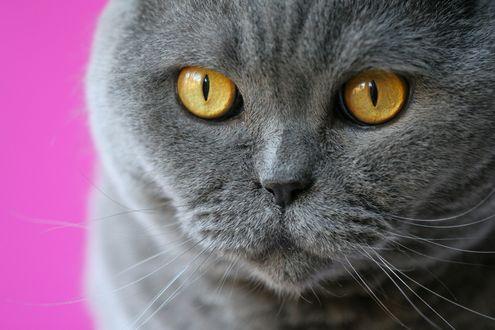Обои Мордочка британского кота
