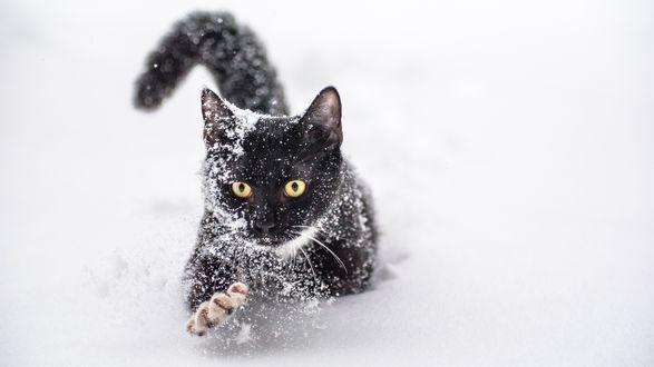 Обои Черный кот в снегу