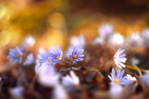 Обои Весенние цветы на размытом фоне, фотограф Yayoi. Sakurai