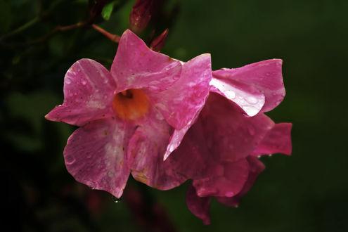 Обои Розовые цветы с каплей росы, фотограф Carol Von Canon
