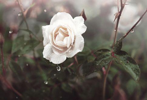 Обои Роза с каплями воды, фотограф Michelle Magnoli