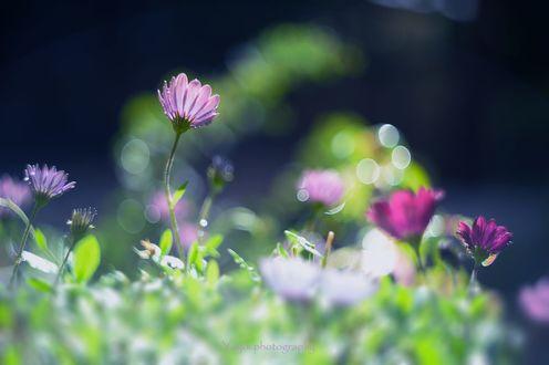 Обои Цветы с каплями росы на размытом фоне, фотограф Yayoi Sakurai