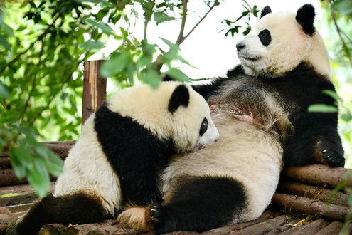 Обои Панда кормит своего большого детеныша грудью, Chengdu, China / Чэнду, Китай