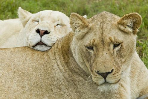 Обои Две белых львицы дремлют, прижавшись друг к другу