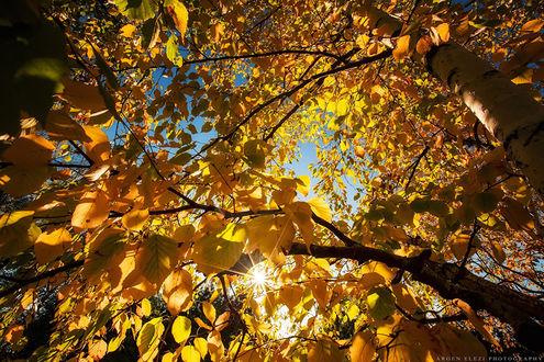 Обои Березы осень золотит мазками цвета солнца, by Argen Elezi