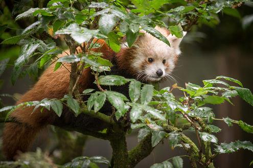 Обои Красная, малая панда спряталась за ветвями дерева