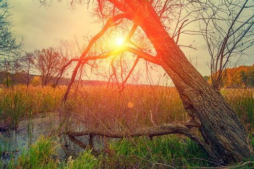 Обои Ствол дерева склонился к заросшему осокой болотцу, в небе пламенеет закатное солнце