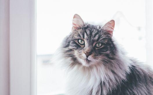 Обои Пушистый кот сидит у окна