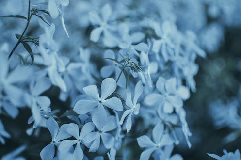 Обои Маленькие голубые цветы