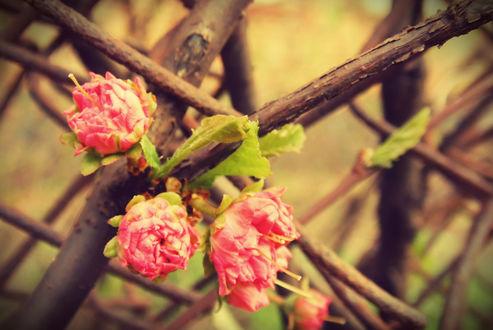 Обои Растущие на ветке розовые цветы