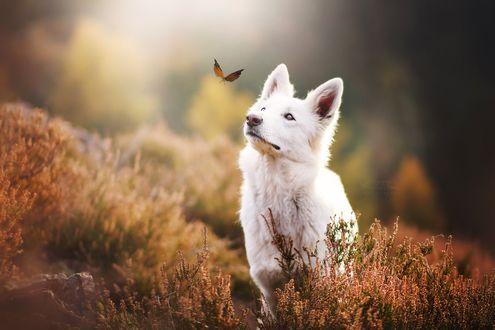 Обои Собака смотрит на бабочку