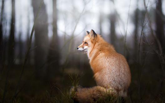 Обои Пушистая лисица сидит в лесу