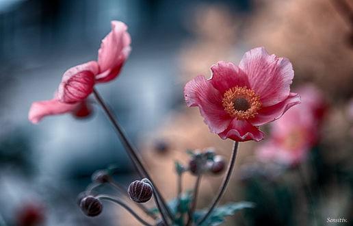 Обои Розовые маки на размытом фоне, фотограф SENSITIV-Camille