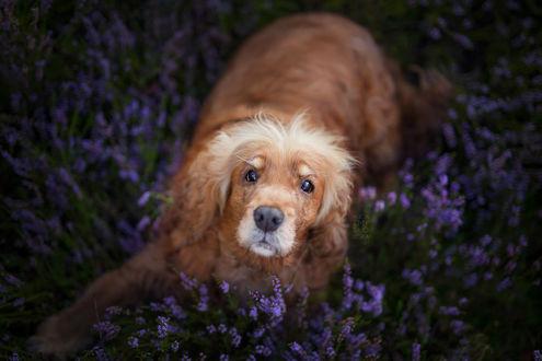 Обои Пес лежит на поляне с цветами, фотограф Alicja Zmysłowska