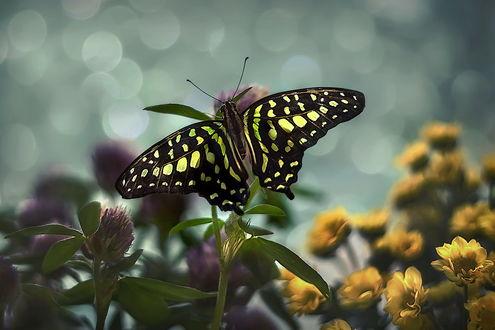Обои Бабочка сидит на цветке, фотограф GaL-Lina