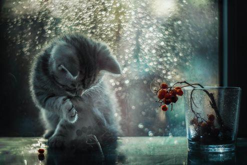 Обои Котенок сидит у стакана с ягодами в лунном свете, фотограф Лилия