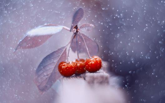 Обои Веточка с ягодами вишни в капельках воды, фотограф Юлия Густерина