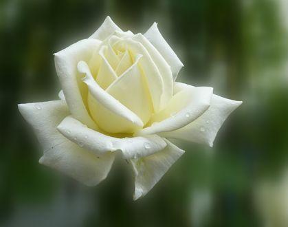 Обои Бутон белой розы в каплях на размытом фоне