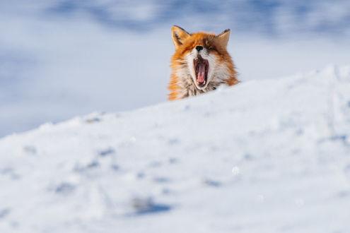 Обои Зевающая лиса выглядывает из-за сугроба. Фотограф Иван Кислов