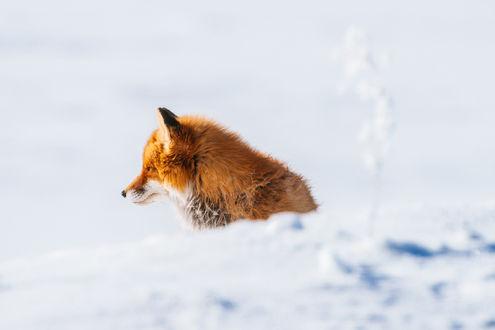 Обои Рыжая лиса греется на солнышке. Фотограф Иван Кислов