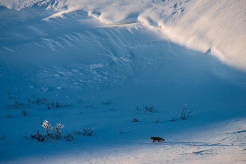 Обои Рыжая лиса на прогулке. Фотограф Иван Кислов