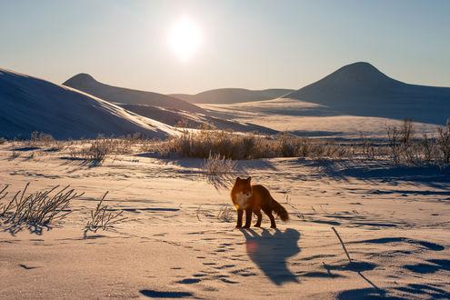 Обои Рыжая лиса осматривает все вокруг в поисках добычи. Фотограф Иван Кислов
