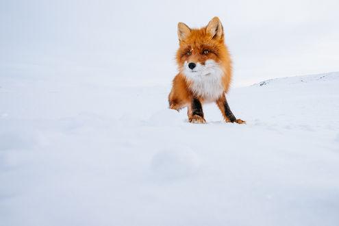 Обои Рыжая лиса притаилась. Фотограф Иван Кислов