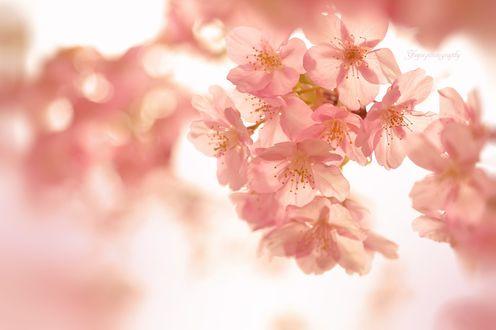 Обои Весенние цветы сакуры на размытом фоне, фотограф Yayoi. Sakurai