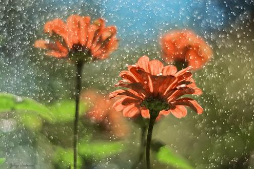 Обои Оранжевые герберы под солнечным дождем, фотограф Юлия Густерина