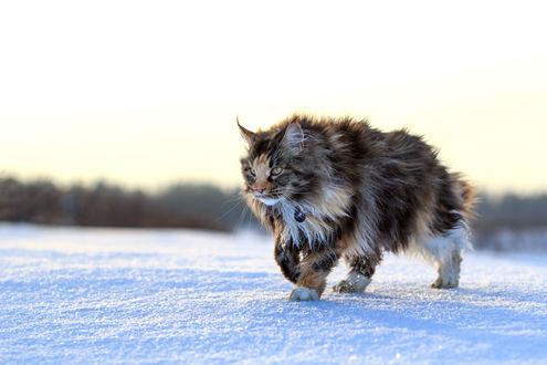Обои Пушистый и важный норвежский кот, с медальоном на шее, идет по снегу