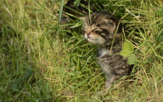 Обои Шотландский лесной котенок сидит в траве