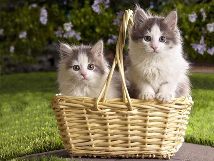 Обои Два милых пушистых котенка сидят в корзине