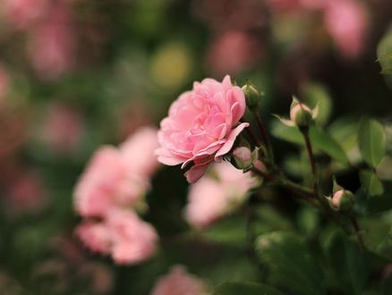 Обои Розовая роза на размытом фоне, by Blanchii