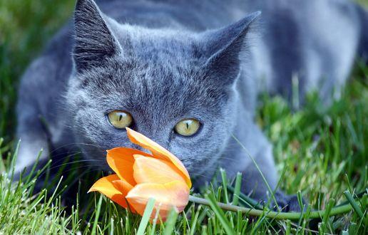 Обои Кот лежит в траве перед тюльпаном