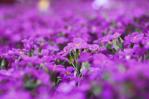 Обои Мелкие фиолетовые цветы, by Blanchii