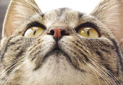 Обои Мордочка кота крупным планом, by Lalingla