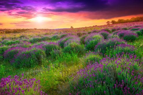 Обои Лавандовое поле на закате