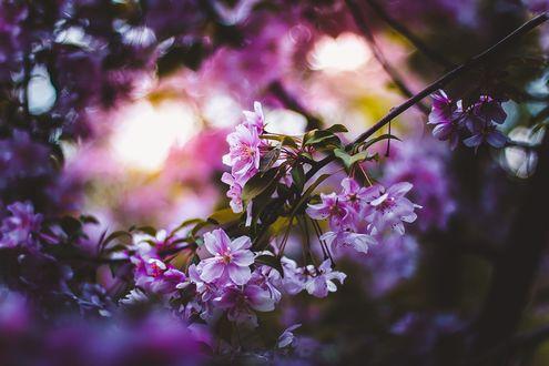 Обои Цветущая весенняя ветка на размытом фоне, фотограф Kristina Manchenko