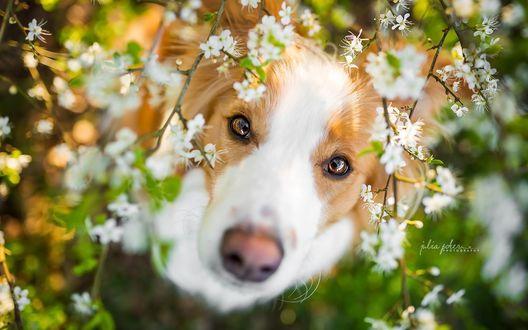 Обои Собака сидит среди цветущих веток и смотрит вверх, фотограф Julia Poker