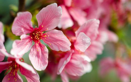 Обои Розовые цветы сакуры в макросъемке