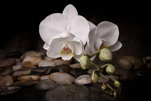 Обои Цветы белой орхидеи лежат на камешках у воды