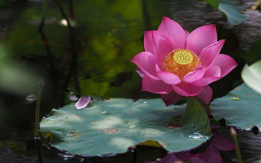 Обои Цветущий розовый лотос над поверхностью воды
