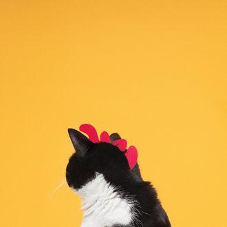 Обои Черно-белый кот с гребешком курицы, by princesscheeto
