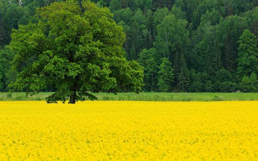 Обои Дуб посреди поляны желтых цветов на фоне густого леса
